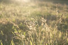 Chasing The Sun (gingerybamboo) Tags: field grass lensflare