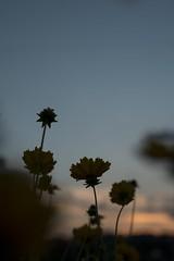 nightfall (RenField - Toel-ul Laputa) Tags: sunset flower 50mm nikon sigma        d800e