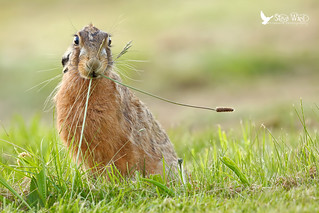 A moment on the lips ........ Brown Hare very late evening