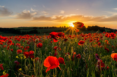 Golden Poppies (Christopher Pope Photography) Tags: flowers sunset sky sun landscape golden countryside gallery screensaver sony vivid hampshire poppy poppies fields colourful lanscape goldenhour kingsclere 2014 greatsky ladlehill sonynex5n
