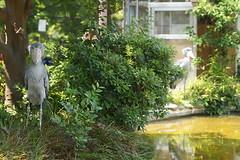 Shoebills at Ueno Zoo 2014-05-31 (kuromimi64) Tags: bird japan zoo tokyo shoebill   uenozoo    uenozoologicalgardens  shoebillstork