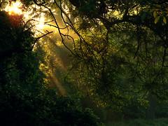 Between the Leaves (Antony Zacharias) Tags: park trees sun macro london grass silhouette sunrise hill peaceful parliament dew raindrops sunbeam parliamenthill sunbeams cockrel londonpark grassmacro