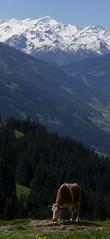 Lunch with a View (bookhouse boy) Tags: mountains alps tirol berge alpen tyrol 2014 kitzbhel bichlalm kitzbheleralpen brunneralm 24mai2014 stuckkogel oberaigen
