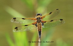 Four Spotted Chaser_signed