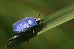 Hoplia coerulea (mâle) (Philippe Garcelon) Tags: coerulea hoplia ramierdelacroixfalgarde