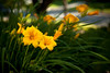 Yellow On Green (T-3 Photography) Tags: plant flower nature canon 50mm md lily maryland lilies niftyfifty 5dmarkii