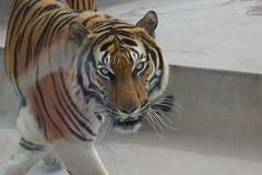 Tigre (Art Dino) Tags: lima per zoolgico tigre parquedelasleyendas
