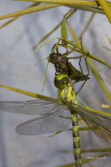IMG_8176 Libelula (gravalosantonio) Tags: libelula jaca insecto metamorfosis invertebrado odonatos artropodo exubia