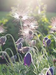 (Gun Plna) Tags: summer sun macro june iceland botanicalgarden sumar sland akureyri sl jn makr lystigarur olympusem5 gunplnasmundsdttir