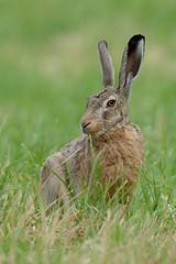 Feldhase - European Hare (Markus Machner) Tags: nature hare wildlife mammals hase lepuseuropaeus