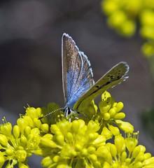 Boisduval's Blue (Plebejus icarioides) (kaeagles) Tags: california blue butterfly bugs sierranevada calpine sierracounty