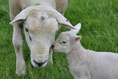 Mother & Child (Chris Mullineux) Tags: nikon sheep farm lamb hamptonloade mullineux