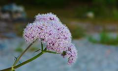 HTT - Beach flower...