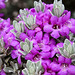Silverado Sage Summer Blossom