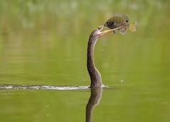 A Precarious Grip (PeterBrannon) Tags: bird nature florida wildlife anhinga zephyrhills snakebird bluegillsunfish avianexcellence anhingawithfish nikond7000