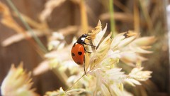 P7166995 (E.Hphotography) Tags: detail macro nature beautiful beauty animals flying wings insects bugs ladybird ladybug delicate creatures creature detailed