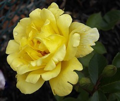 Yellow again (MissyPenny) Tags: flower rose yellow garden bristolpennsylvania pdlaich