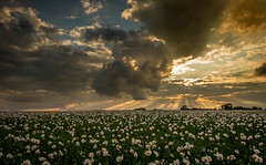 Wotton Poppies - Hampshire (Christopher Pope Photography) Tags: sunset sun clouds poppies sunburst godrays 2014 angrysky greatsky lilacpoppies