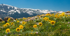 Alpine_sunflowers_1 (DawnWilsonPhotography) Tags: flowers summer mountains color nature yellow nationalpark colorado alpine environment wildflowers delicate rockymountainnationalpark trailridgeroad highcountry alpinesunflower meadlow