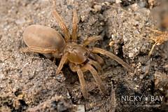 Mangrove Trapdoor Spider (Idioctis sp.) - DSC_9113 (nickybay) Tags: hairy macro foot spider singapore mangrove mound trapdoor littoralis mygalomorphae mudlobster barychelidae limchukangmangrove