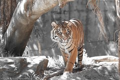 Prowling Tiger (nickjacksonphotography) Tags: new food orange nature animal wales fauna cat mammal zoo south tiger sydney stripe australia alive taronga stripy