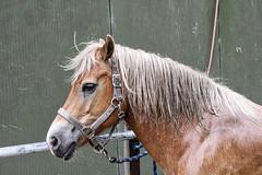 Pret met sarah (gill4kleuren - 13 ml views) Tags: life horse me sarah hair fun outside happy running gill washing saar paard haflinger