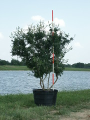 Yaupon Holly 45g 7-10-14