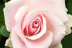 Pink LG Rose 3-0 F LR 7-13-14 J240 (sunspotimages) Tags: flowers rose macroflowerlovers bestflickrphotography blinkagain lg71314