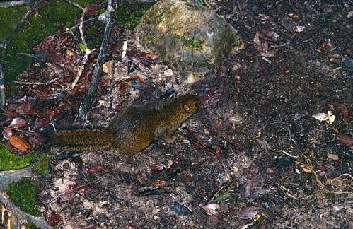 Bornean Mountain Ground Squirrel (Dremomys everetti)