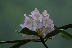 Rhododendrun (flutterbye216) Tags: flower canon bloom greatsmokymountainsnationalpark cataloochee rhododendrun canon60d flutterbye216 challengeclubchampion
