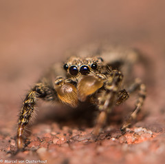 20140722-DSC_5030 (M van Oosterhout) Tags: holland macro nature netherlands animal insect spider jumping