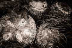 Logs (NitaAnn D) Tags: tree grass sepia dark log rings