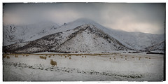 Cold on the Range (Remarkable Imagery) Tags: winter snow mountains landscape sheep alpine otago tussock crownterrace crownrange