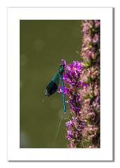 Male Banded Demoiselle (Travels with a dog and a Camera :)) Tags: uk england southwest west macro male art digital photoshop bristol pentax south july cc ii di if demoiselle af 55 tamron xr ld lightroom banded 2014 calopteryx 18200mm splendens bandeddemoiselle calopteryxsplendens k30 f3563 asperical justpentax pentaxart pentaxk30 tamronaf18200mmf3563xrdiiildaspericalifmacro photoshopcc2014 lightroom55