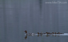 "Common Mergansers • <a style=""font-size:0.8em;"" href=""http://www.flickr.com/photos/63501323@N07/14800942933/"" target=""_blank"">View on Flickr</a>"