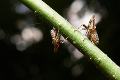 Leafhoppers (Cicadellidae), Singapore (singaporebugtracker) Tags: singaporebugtracker macroinsect planthoppers leafhoppers macritchieforest truebugs hoppers jekyllandhyde ride stem balance weighingscale
