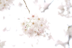 Color of April : Pink & White (Colorful-wind) Tags: 2017 april cherry color flower fujifilm fukuoka japan kitakyushu light lightandshadow nature softfocus softness white xt1