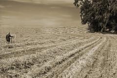 Weites Land (hansmersch) Tags: maleridylle stoppelfeld impressionismus sommer stubblefield impressionism summertime