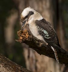 kookaburra WW  D500 200-500mm_DSC8674 (neilfif11) Tags: nikond500 nikon5004afslens birds sydney kingfisher kookaburra