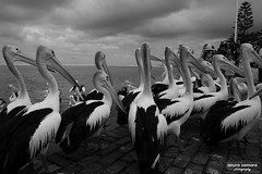 Pelicans at The Entrance (Anura in Canberra) Tags: nsw theentrance bw pelican bird sea