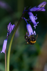 Busy Bumble Bee Pollinating Bluebells (paulinuk99999 - tripods are for wimps :)) Tags: paulinuk99999 bumble bee bluebells ashridge national trust flora ridgeway macro insect spring 2017 sal70400g pollen pollinating honey glade trees