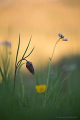 Soleil couchant au pays des fleurs (Fernando.P.Photo) Tags: fleur nature macro proxy flower light bokeh sunset fritillaire pintade fritillaria meleagris fritillaries