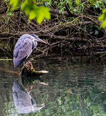 Patience (PhilR1000) Tags: heron riverthames bird water reflection