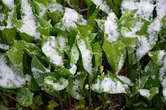 Jatkuu ... (anuwintschalek) Tags: nikond7000 d7k 18140vr austria niederösterreich wienerneustadt kodu home kevad april frühling spring lumi snow schnee lörts schneeregen maikellukesed liliesofthevalley maiglöckchen