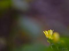 """""""Habit de printemps..."""" (AnthonyOuvrelle.Photography) Tags: flowers flore fleur jaune yellow printemps macro macrophotographie nikon sigma proxyphoto photographie photography nature sauvage proxy douceur doux lumière light univers imaginaire paysage photo floral"""