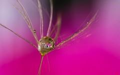 fragile 1503 (Yasmine Hens +4 400 000 thx❀) Tags: canoneos750d canon750d canon 7dwf macro drop pink brilliant water h2o hensyasmine belgium
