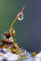 Moos-Snow_2 (denzthomas) Tags: april snow moos macro droplet wassertropfen