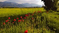 Beauté de saison... Season's beauty.... (Isa****) Tags: smileonsaturday beautysseason 7dwf paysage landscape céret pyrénées champ field montagne mountain coquelicots poppies printemps spring seasonsbeauty