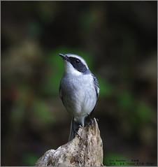 Grey Bushchat (Luis Foo) Tags: grey bushchat pentax k70 sigma 150500mm baihualing wildlife