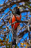The Elegant Trogon (Trogon elegans) (mharoldsewell) Tags: 2017 april arizona coronadonationalforest d7200 eleganttrogon nikon santacruzcounty sigma150600mmhsmossport trogonelegans bird birds mharoldsewell mikesewell photos
